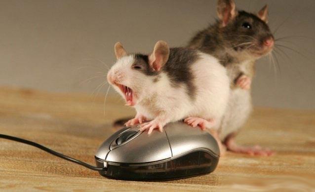 mäuse sex mit keuschheitsgütel